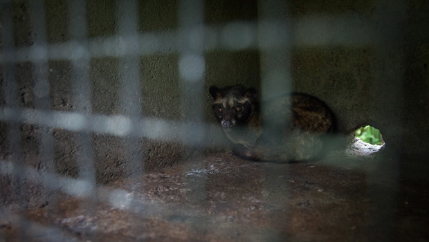 A-civet-cat-looks-out-from-a-cage-inside-a--Kopi-Luwak--or-Civet-coffee-farm-and-cafe-in-Tampaksiring--Bali--Indonesia--2013--GETTY